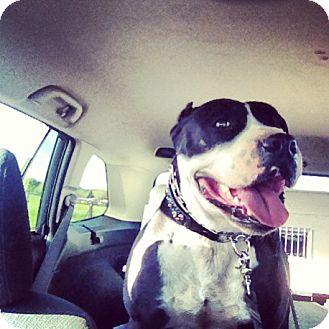 American Staffordshire Terrier/American Pit Bull Terrier Mix Dog for adoption in Sacramento, California - Harper