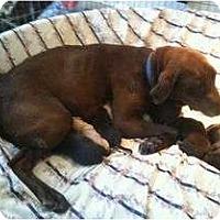 Adopt A Pet :: GODIVA - San Diego, CA