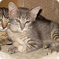 Adopt A Pet :: TigerLily - Dallas, TX