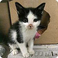 Adopt A Pet :: Gypsy - New York, NY