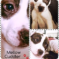 Adopt A Pet :: Spanky - Huntington Beach, CA