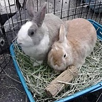 Netherland Dwarf Mix for adoption in Los Angeles, California - Jim & Nina