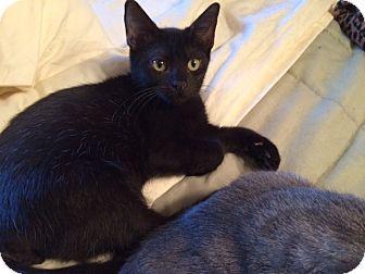 American Shorthair Cat for adoption in Metairie, Louisiana - Sebastian