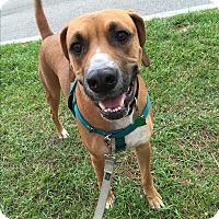Adopt A Pet :: Bones - Courtesy Posting - New Canaan, CT