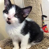 Adopt A Pet :: PPB White & black male kitten - Manasquan, NJ