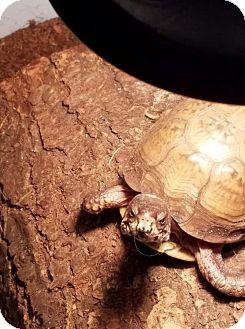 Tortoise for adoption in Aurora, Illinois - Turk