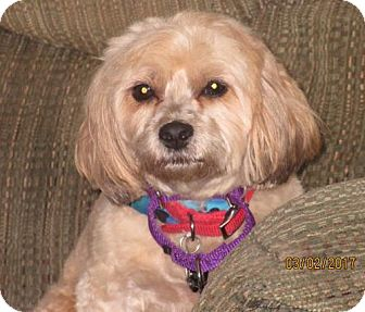 Poodle (Miniature) Mix Dog for adoption in Rootstown, Ohio - Bentley