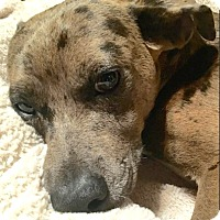 Adopt A Pet :: Spot-ADOPTION PENDING - Boulder, CO