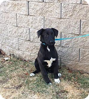 Labrador Retriever/Border Collie Mix Puppy for adoption in Windham, New Hampshire - Kim is in Rhode Island!