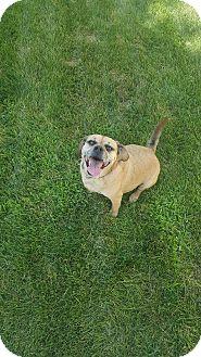 Pug/Beagle Mix Dog for adoption in Toledo, Ohio - Ranger