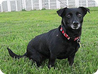 Dachshund/Chihuahua Mix Dog for adoption in Bealeton, Virginia - Savannah