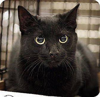 Domestic Shorthair Cat for adoption in Fairfax Station, Virginia - Eliza