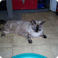 Adopt A Pet :: Mew mew - Whittier, CA