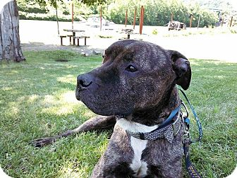 Pit Bull Terrier Mix Dog for adoption in East McKeesport, Pennsylvania - Kindle