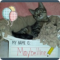 Domestic Shorthair Kitten for adoption in Iroquois, Illinois - Maybelline