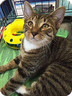 Domestic Mediumhair Kitten for adoption in Mansfield, Texas - Beth
