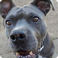 Adopt A Pet :: Sasha - Norman, OK
