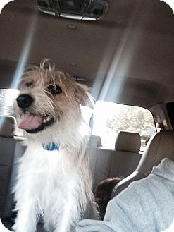 Yorkie, Yorkshire Terrier Mix Dog for adoption in Elyria, Ohio - Sweetie and Bae Bae