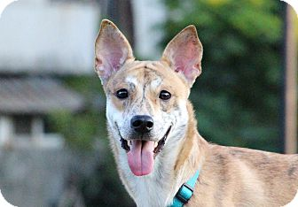 Shiba Inu/Greyhound Mix Dog for adoption in San Francisco, California - Aken