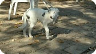 Australian Shepherd/Doberman Pinscher Mix Puppy for adoption in Reno, Nevada - Laddie