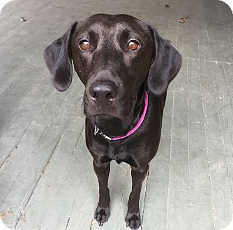 Labrador Retriever Mix Dog for adoption in Vancouver, British Columbia - Bella