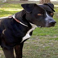 Pit Bull Terrier Dog for adoption in Upland, California - HOOEY