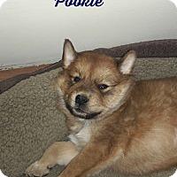 Adopt A Pet :: Pookie (fostered in SC) - Cranston, RI