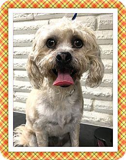 Bichon Frise Mix Dog for adoption in Tulsa, Oklahoma - Adopted!! Baxter - SE TX