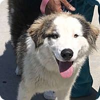 Adopt A Pet :: Hank - West LA, CA