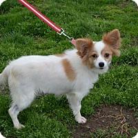 Papillon Dog for adoption in Akron, Ohio - Priscilla