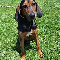 Coonhound Mix Dog for adoption in Hawk Point, Missouri - Elvis