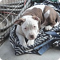 Adopt A Pet :: sweet puppies-3 boys - Sacramento, CA