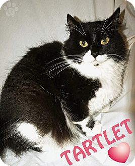 Domestic Longhair Cat for adoption in Converse, Texas - Tartlet
