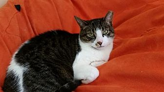 Domestic Shorthair Cat for adoption in Philadelphia, Pennsylvania - Tyler
