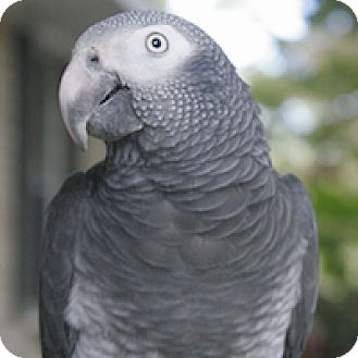 African Grey for adoption in Wilmington, North Carolina - Pepper