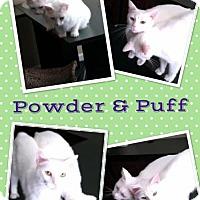 Manx Cat for adoption in Roxboro, North Carolina - Powder & Puff