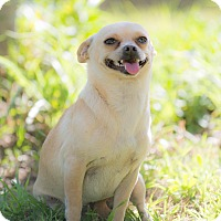 Chihuahua Mix Dog for adoption in Corona, California - Dora