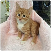 Adopt A Pet :: SAHARA aka Scout - Hamilton, NJ