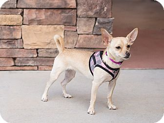 Chihuahua Mix Dog for adoption in Chandler, Arizona - Kiki