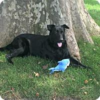 Shepherd (Unknown Type) Dog for adoption in Spring Lake, New Jersey - Skylar