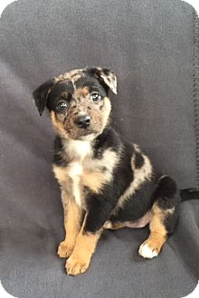 Australian Shepherd Mix Puppy for adoption in Hainesville, Illinois - Cookie