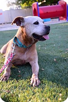 Pit Bull Terrier Mix Dog for adoption in Bradenton, Florida - Peaches