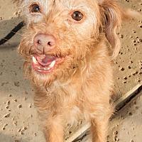 Terrier (Unknown Type, Small) Mix Dog for adoption in Agoura Hills, California - Kiwi