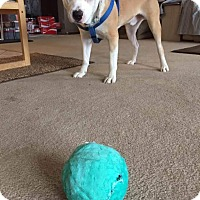 American Staffordshire Terrier/Pit Bull Terrier Mix Dog for adoption in Villa Park, Illinois - Cody