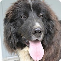 Adopt A Pet :: Bear - Spring Valley, NY