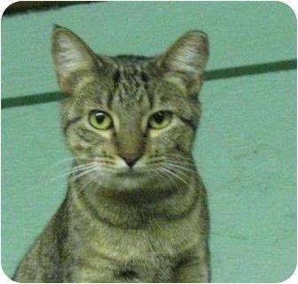 Domestic Shorthair Cat for adoption in Metairie, Louisiana - Ella