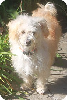 Poodle (Miniature)/Maltese Mix Dog for adoption in Norwalk, Connecticut - Tita - adopted!