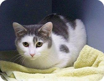 American Shorthair Cat for adoption in Dover, Ohio - Gabe