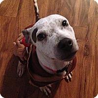 Adopt A Pet :: Beanie - Irving, TX