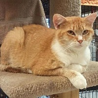 Adopt A Pet :: Pumpkin Pie - Milwaukee, WI